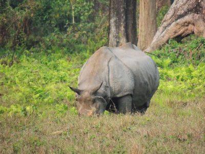 jaldapara-wildlife-rhino10